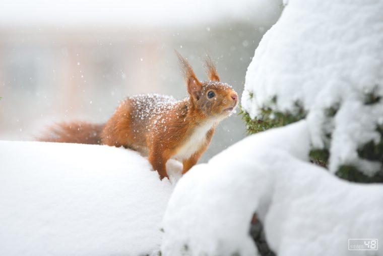 Januar 2021, Eichhörnchen, Balkon und Schnee
